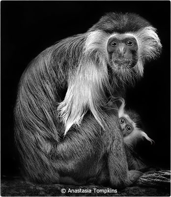 eoy-b-and-w_tompkins_anastasia_1-and-a-half-colobus-monkeys_second-place