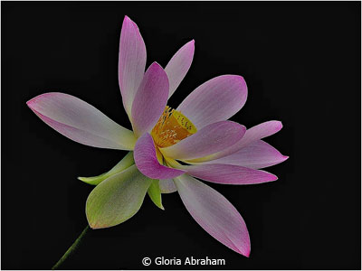 eoy-color-b_abraham_gloria_flower-of-my-heart_second-place