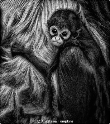 EOY-Black-and-White_Tompkins_Anastasia_spider-monkey-with-baby_Third-Place