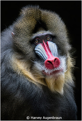 EOY-Color-AA_Augenbraun_Harvey_Mandrill-Portrait_First-Place