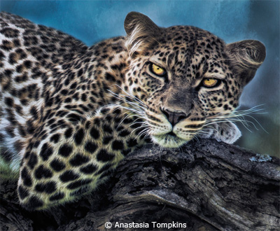 EOY-Nature_Tompkins_Anastasia_leopard-portrait-tanzania_First-Place
