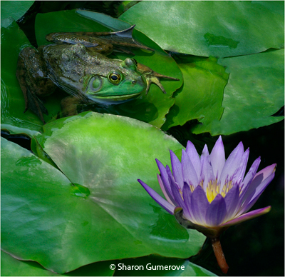 april_aa_gumerove_sharon_frog_and_lily