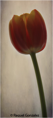 april_color_b_gonzalez_raquel_a_single_tulip
