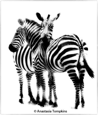 april-black-and-white_tompkins_anastasia_hi-key-zebras_honorable-mention