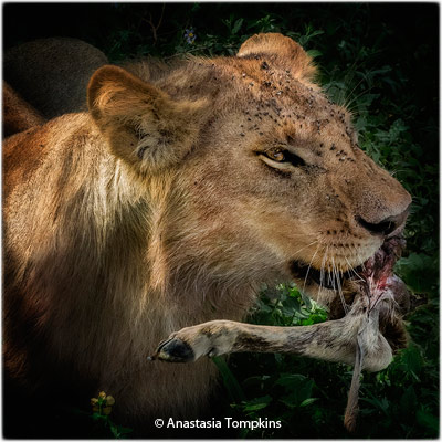 april-group-aa_tompkins_anastasia_dinner-in-the-serengeti_image-of-the-month