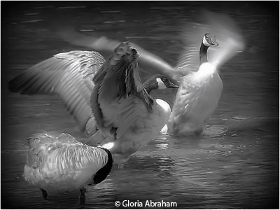 december_b_and_w_abraham_gloria_ducks_bathing