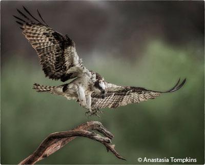 december_color_aa_tompkins_anastasia_landing_osprey