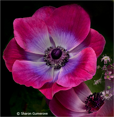 Sharon_Gumerove_Poppy_Image-of-the-Month_December-Color-Group-AA_20171202