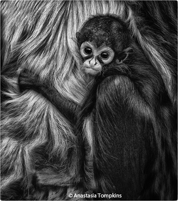 february-bw_tompkins_anastasia_spider-monkey-palm-beach-zoo_imagge-of-the-month
