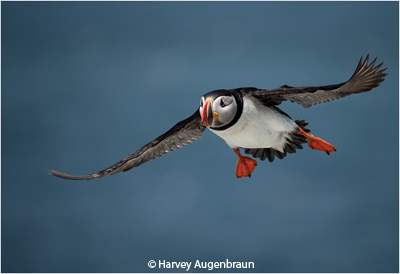 february-color-aa_augenbraun_harvey_puffin-in-flight_honorable-mention