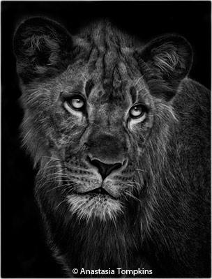 february-2-black-and-white_tompkins_anastasia_lion-cub