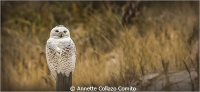 Anette_CollazoComito_Snowy Owl_Honorable Mention_January Color Group A_20180106