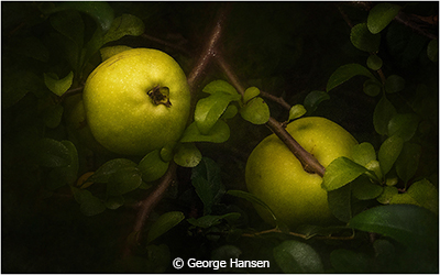 George_Hansen_Quince_Image of the Month_January Color Group A_20180106