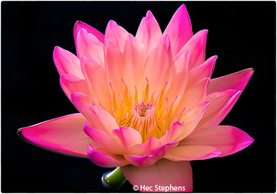 january-color-b_stephens_hector_botanical-garden-water-lilly