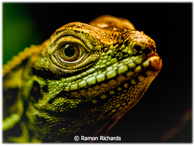 Ramon_Richards_Close-look_Honorable-Mention_January-Theme-Reptiles_20190105