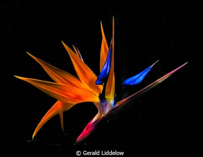 March-Color-Group-A_Liddelow_Gerald_Paradise-flower