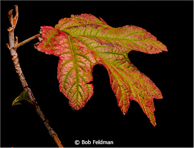 Bob_Feldman_Its-A-Leaf_Image-of-the-Month_March-Theme-Leaves_20180303