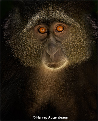 may-theme-monkeys_augenbraun_harvey_monkey-face_image-of-the-month