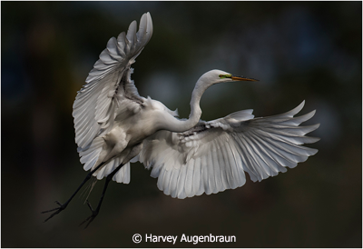November-Color-Group-AA_Augenbraun_Harvey_Landing-Egret
