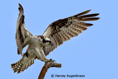 november-color-aa_augenbraun_harvey_landing-osprey