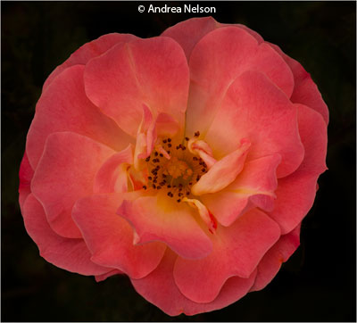 november-group-a_nelson_andrea_delicate-rose