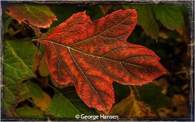 George_Hansen_Red-Leaf_Image-of-the-Month_November-Color-A_20191102
