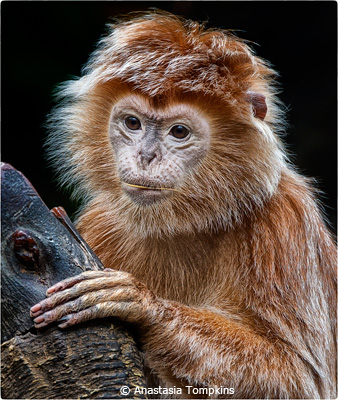 october-color-aa_tompkins_anastasia_langur-monkey