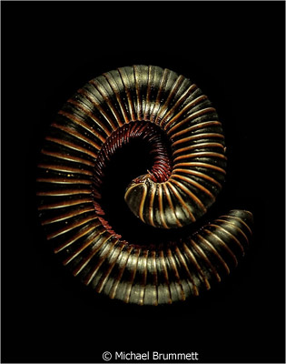 october-color-a_brummett_michael_millipede