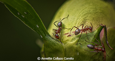 Annette_CollazoComito_Ants-at-Work_Image-of-the-Month_October-Color-AA_20191005