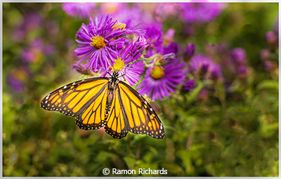 Ramon_Richards_Single-Butterfly_Image-of-the-Month_October-Color-B_20191005