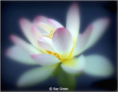 Ray_Green_American-Water-Lily_Honorable-Mention_October-Color-A_20191005