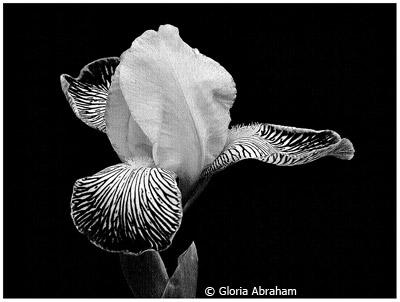 september-black-and-white_abraham_gloria_black-beauty