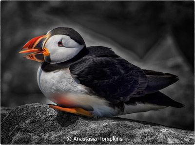 september-group-aa_tompkins_anastasia_puffin-machias-seal-island