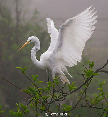 September-Color-Group-AA_Miller_Teena_Egret-In-Fog
