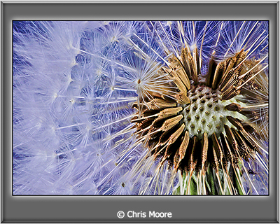 Chris-Moore_A-Dandy-Lion_September-Color-A_A-Dandy-Lion_Image-of-the-Month