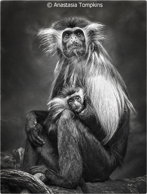 september-b-and-w_tompkins_anastasia_colobus-monkey-with-baby
