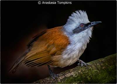 september-color-aa_tompkins_anastasia_white-crested-laughing-thrush